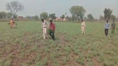 चने की आड़ में गांजे की खेती करने का आरोपी गिरफ्तार