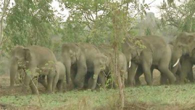 आरंग में मौजूद है 23 जंगली हाथियों का दल