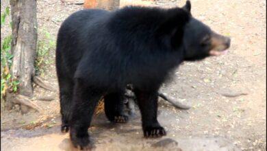 पेंड्रा में भालू