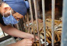 रॉयल बंगाल टाइगर वसुंधरा