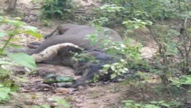 हाथी का शव