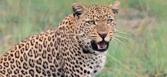 कांकेर में तेंदुआ
